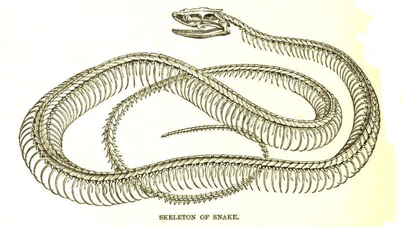 File:SnakeSkelLyd.jpg