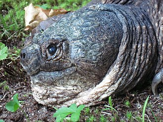 Common snapping turtle - Head