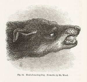 Dog bite prevention - Snarling dog from Darwin's Expression of Emotions