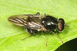 Soldier Fly - Adoxomyia subulata, Meadowood Farm SRMA, Mason Neck, Virginia.jpg