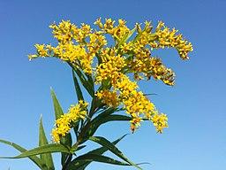 Solidago gigantea (subsp. serotina) sl20