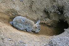 lapin grisâtre entrant dans un terrier sous terre