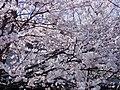 Someiyosino in sangyodoro of Toyama.jpg