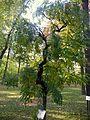 Sophora japonica var. pendula (3).JPG