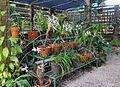 Soroa orchidees.JPG