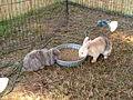 Southwest Georgia Regional Fair 2015 rabbits.JPG