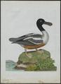 Spatula clypeata - 1790-1796 - Print - Iconographia Zoologica - Special Collections University of Amsterdam - UBA01 IZ17600473.tif