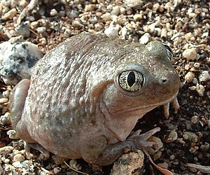 American spadefoot toad - Western Spadefoot Toad (Spea hammondii)