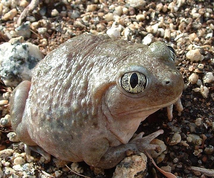 Western Spade-foot Toad
