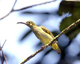 Spectacled Spiderhunter (Arachnothera flavigaster) - Flickr - Lip Kee.jpg