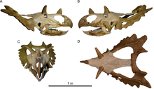 Horned dinosaur skull in multiple views