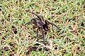 Spider in Arerunguá, Uruguay 2017 003.jpg