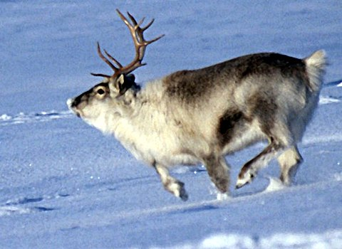 Svalbard reindeer running in snow.