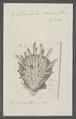 Spondylus croceus - - Print - Iconographia Zoologica - Special Collections University of Amsterdam - UBAINV0274 074 10 0023.tif