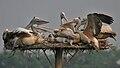 Spot-billed Pelican (Pelecanus philippensis) fighting in Uppalpadu, AP W IMG 3292.jpg