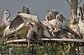 Spot-billed Pelican (Pelecanus philippensis) mating in Uppalapadu, AP W IMG 5115.jpg