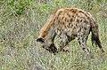 Spotted Hyena (Crocuta crocuta) gnawing at a kudu leg ... (50133389047).jpg
