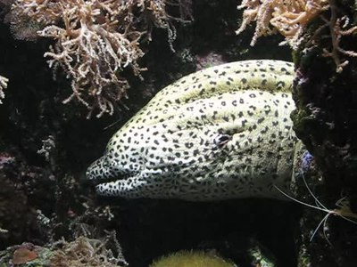 File:Spotted Moray in Océanopolis.webm