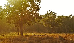 Spotted deer grazing under the tree in afternoon sun.jpg