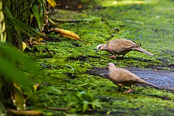 Spotted dove (30509640752).jpg
