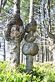 Spruce Burl trail, Kalaloch Beach, Washington 02.jpg
