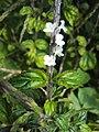 Stachytarpheta australis 01.JPG