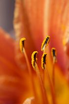 Stamen Orange Daylily.jpg