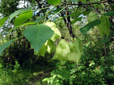 Staphylea trifolia SCA-3490.jpg