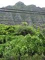 Starr-040711-0238-Coccinia grandis-habit-Kualoa Park-Oahu (24714151445).jpg