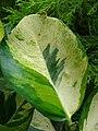 Starr-070906-8678-Clusia rosea-variegated leaf-Kula Ace Hardware and Nursery-Maui (24595751740).jpg