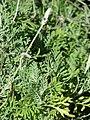 Starr-080103-1280-Lavandula multifida-habit-Lowes Garden Center Kahului-Maui (24275063563).jpg