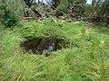 Starr-080608-7707-Phyla nodiflora-habit with Laysan duck seep in ironwoods-Hidden seep West Beach Sand Island-Midway Atoll (24823612321).jpg