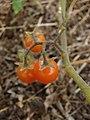 Starr-090421-6260-Solanum lycopersicum-fruit-Pukalani-Maui (24325517953).jpg