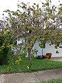 Starr-090421-6264-Bauhinia hookeri-habit-Pukalani-Maui (24834417022).jpg
