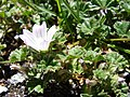 Starr-090504-7255-Malva neglecta-flowers and leaves-Science City-Maui (24586583529).jpg