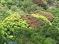 Starr-090610-0593-Mangifera indica-red and green leaves-Haiku-Maui (24333425094).jpg