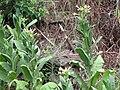 Starr-090714-2884-Nicotiana tabacum-flowering habit-Kahakuloa-Maui (24342994433).jpg