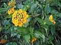 Starr-090730-3439-Lantana montevidensis-flowers and leaves-Honolulu Airport-Oahu (24877429091).jpg