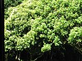 Starr-091104-0664-Aleurites moluccana-habit-Kahanu Gardens NTBG Kaeleku Hana-Maui (24987428835).jpg