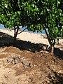 Starr-110312-6350-Thespesia populnea-tsunami damage exposed roots sand eroded-Kanaha Beach-Maui (24986227241).jpg