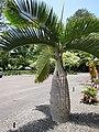 Starr-120522-6665-Hyophorbe lagenicaulis-habit-Iao Tropical Gardens of Maui-Maui (25117729846).jpg