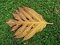 Starr-120606-6998-Artocarpus altilis-leaf on ground-Kahanu Gardens Hana-Maui (25118304516).jpg