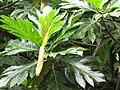Starr-120606-7003-Artocarpus altilis-leaves-Kahanu Gardens Hana-Maui (25051376991).jpg
