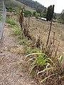 Starr-120608-7248-Cenchrus purpureus-Purple Banagrass planted and deer browsed-Ulupalakua Ranch-Maui (25026862312).jpg