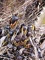 Starr-120702-7944-Elaeis guineensis-fruit-USDA Plant Materials Center-Molokai (24890699060).jpg