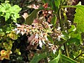 Starr-121108-0702-Pogostemon cablin-flowers-Pali o Waipio-Maui (25077653012).jpg
