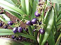 Starr-130319-3166-Dianella sandwicensis-plantings with fruit-Kilauea Pt NWR-Kauai (24841089549).jpg
