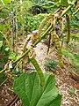 Starr-131002-2395-Pachyrhizus erosus-flowers leaves and seedpods-Hawea Pl Olinda-Maui (25201048366).jpg