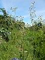 Starr-140909-1798-Cyanthillium cinereum-flowers-Wailua-Maui (25152774601).jpg