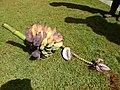 Starr-140925-1946-Musa balbisiana-fruit showing seeds-Pali o Waipio Huelo-Maui (25220226346).jpg